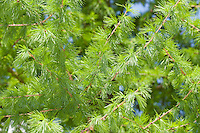 Europäische Lärche, Larix decidua, frische Nadeln im Frühjahr, European Larch
