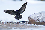A common raven comes in for a landing to feed on a bison that died overnight in Yellowstone National Park.  Photo by Gus Curtis.