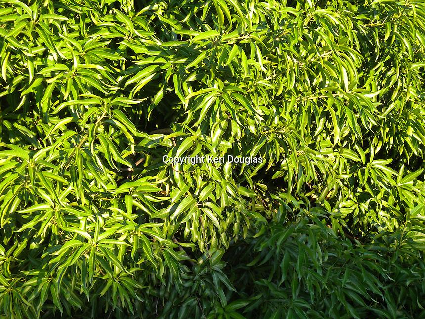 Green leaves of the mango tree, Asuncion, Paraguay