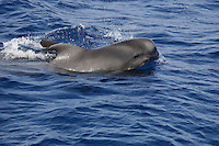 Short finned Pilot whale Globicephala macrorhynchus surfacing calf. Tenerife, Canary Islands, Spain