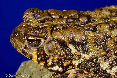 FR12-001x   American Toad - close-up of poisonous skin - Anaxyrus americanus, formerly Bufo americanus