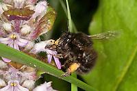 Gemeine Pelzbiene, Pelz-Biene, Frühlings-Pelzbiene, Frühlingspelzbiene, Weibchen mit Pollenhöschen, Pollen-Höschen, Anthophora acervorum, Anthophora plumipes, Blütenbesuch an Günsel, Nektarsuche, Bestäubung, common Central European flower bee