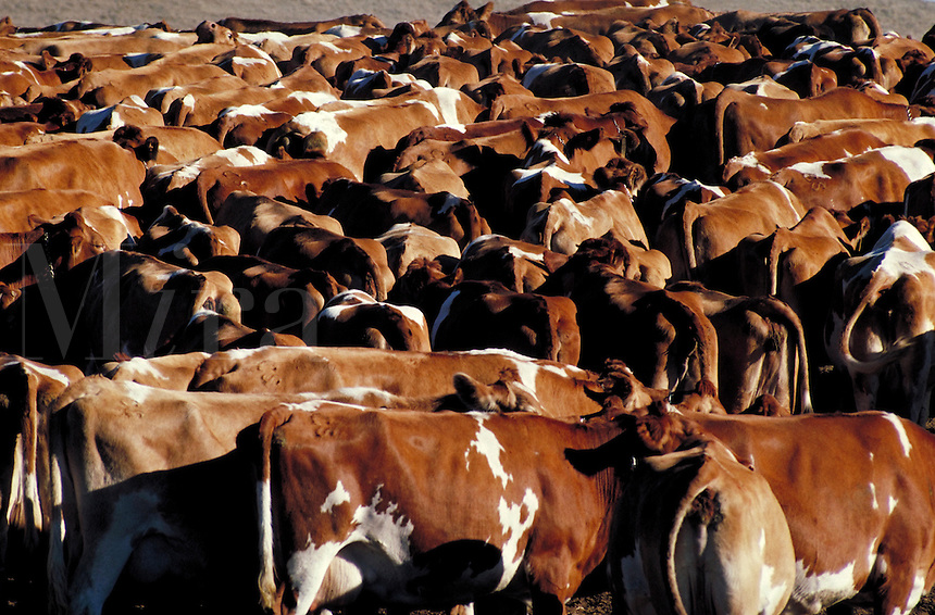 Cattle herd of brown and white cows clustered in field. California.