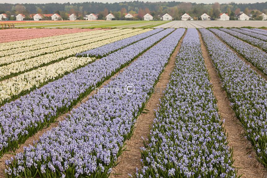 """Hollande, région des champs de fleurs, vers Lisse, champs de jacinthes // Holland, """"Dune and Bulb Region"""" in April, Lisse, here, fields of hyacinths."""