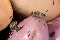 Speisebohnenkäfer, Speise-Bohnenkäfer, Bohnenkäfer, Acanthoscelides obtectus, Common bean weevil, Bean Weevil, Seed beetle, Samenkäfer, Bruchidae, Bruchinae, Seed beetles, Vorratsschädling, Schädling