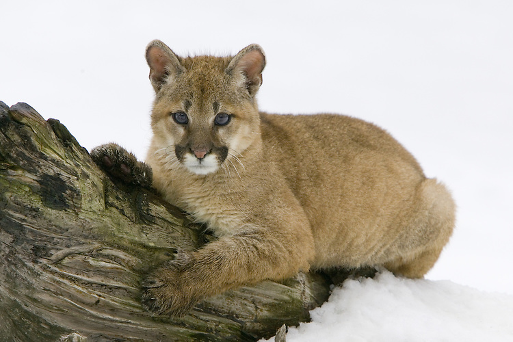 Puma kitten lying in the snow on an old log - CA