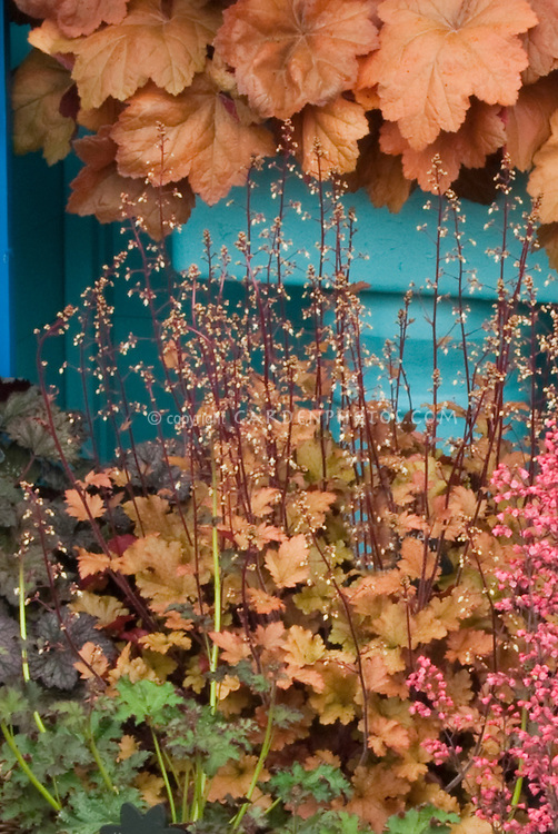 Heuchera Marmelade in bloom with Heuchera Southern Comfort and Rave On