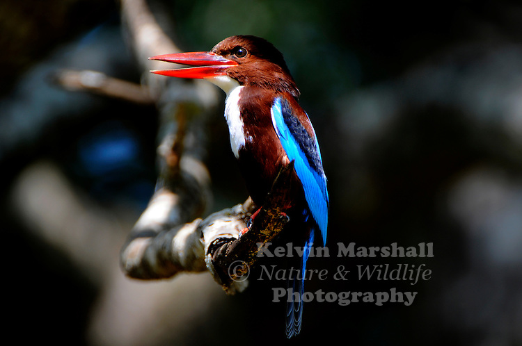 White-throated kingfisher (Halcyon smyrnensis) also known as the white-breasted kingfisher or Smyrna kingfisher, is a tree kingfisher, widely distributed in Eurasia from Bulgaria, Turkey, West Asia east through the Indian subcontinent to the Philippines. This kingfisher is a resident over much of its range, although some populations may make short distance movements. It can often be found well away from water where it feeds on a wide range of prey that includes small reptiles, amphibians, crabs, small rodents and even birds. During the breeding season they call loudly in the mornings from prominent perches including the tops of buildings in urban areas or on wires. Bundala National Park - Sri Lanka.
