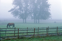 Horse in pasture with fence and fog. Junction City, Oregon.