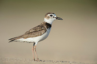 Wilson's Plover, South Padre Island