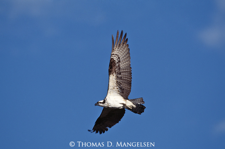 Close-up of osprey in flight