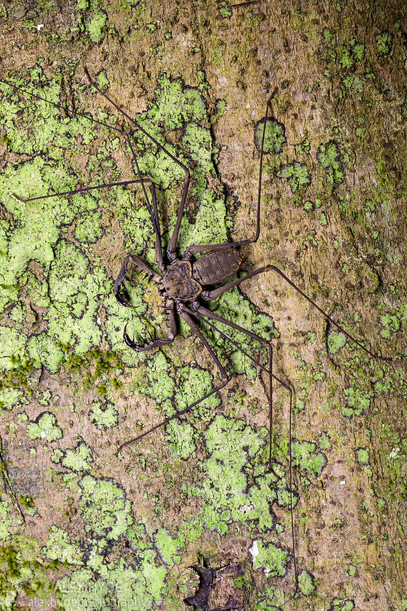 Tailless Whipscorpion  (Heterophrynus elephas) hunting invertebrate prey at night on tree butress root. The raptorial pedipalps are extended, with which it grabs its prey much like a praying mantis. Manu Biosphere Reserve, Peru. November.