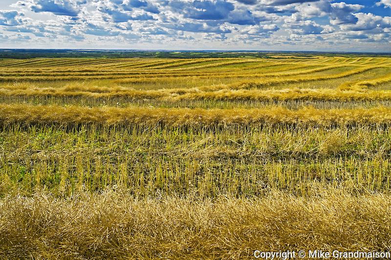 swath canola drying<br /> south of Big Valley<br /> Saskatchewan<br /> Canada