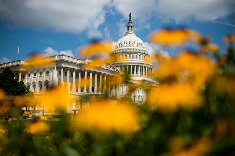 UNITED STATES - JULY 8: The U.S. Capitol dome is seen through a patch of black-eyed susan flowers on the east side of the Capitol on Monday, July 8, 2013. (Photo By Bill Clark/CQ Roll Call)