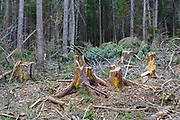 Unit 35 of the Kanc 7 Timber Harvest Project in the White Mountains of New Hampshire during the spring months. The harvest method for Unit 36 was Group/STS (Group Selection & Single Tree Selection). Signs of the timber harvest project are visible when traveling along the Kancamagus Scenic Byway (Route 112).