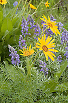 Arrow-leafed balsamroot and lupine in Brender Canyon near Cashmere, Washington.Balsamorhiza sagittata