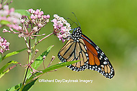 03536-04819 Monarch Butterfly (Danaus plexippus) male on Swamp Milkweed (Asclepias incarnata) Marion Co., IL