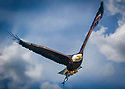 November 8, 2015 / Conowingo Dam, Maryland / Bald Eagles / Photo by Bob Laramie