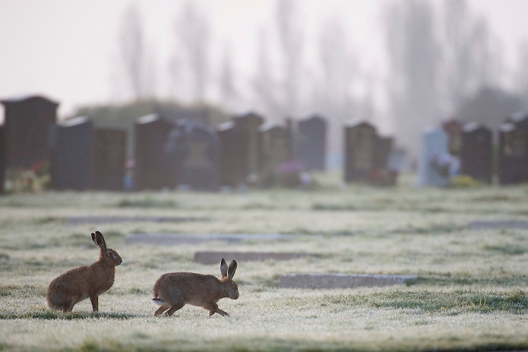 Brown hares (Lepus europaeus) chasing each other on a frosty morning in a cemetery.