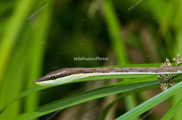 Brown Vine Snake (Oxybelis aeneus) hunting for  anoles and lizards, Bocas del Toro, Colon Island, Panama