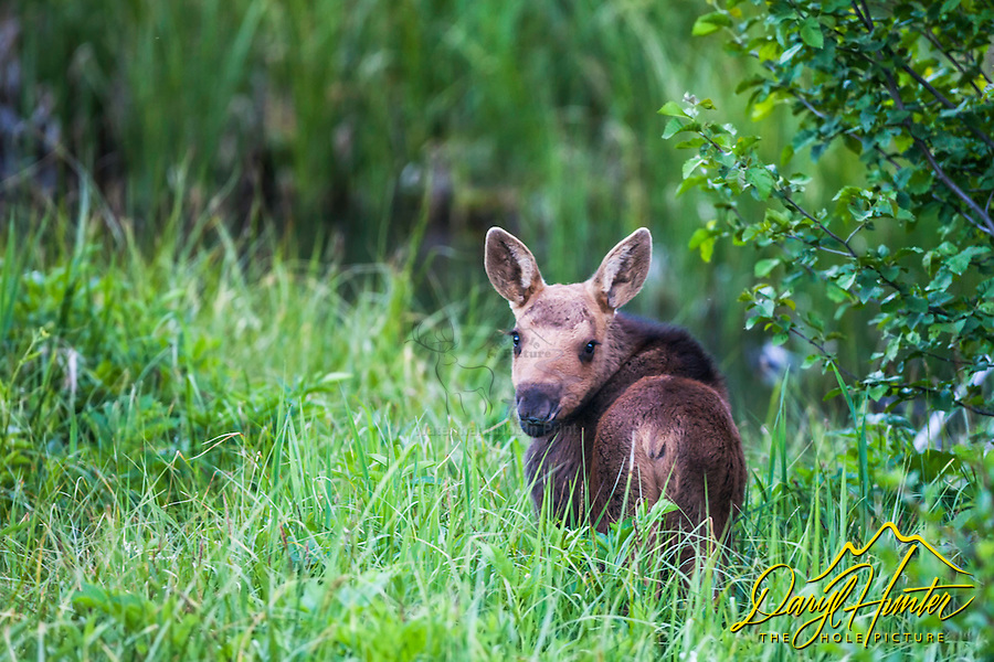 A new moose baby belly deep in the green grass of summer in Jackson Hole Wyoming.