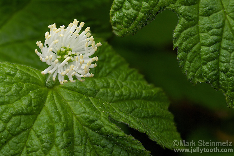Close-up of a flowering Goldenseal (Hydrastis canadensis) plant. The  flowers of Goldenseal have no petals, and the sepals fall off upon the flower opening. The attractive flower is composed of many white stamens surrounding a cluster of pistils.  The roots of the plant are a highly valued medicinal with antibiotic, antiseptic, and immune-system stimulating properties. Goldenseal is a threatened species due to over-harvesting in the wild. Native to eastern North American woodlands. Delaware County, Ohio, USA.