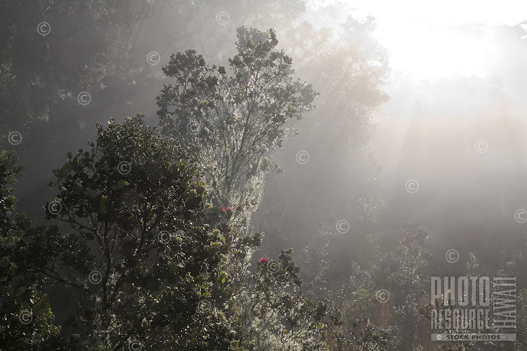 Slanting rays of sun penetrate an ohia lehua forest in the morning mist