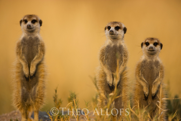 Meerkats, Suricates (Suricata suricatta) looking out for predators, Botswana, Kalahari, Makgadikgadi Pans National Park