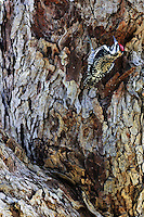 Yellow-bellied Sapsucker (Sphyrapicus varius), female at sap well, Dinero, Lake Corpus Christi, South Texas, USA