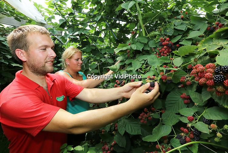 Foto: VidiPhoto<br /> <br /> WAARDENBURG - Anika en Aart van Dijk van De Sikkert zachtfruit zijn volop bezig met de oogst van hun bramen en bessen. Het bedrijf telt in totaal 5 ha. zachtfruit.