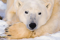 Polar Bear Portrait.Patiently waiting on the arrival of winter when the shore ice join the sea ice of Hudson Bay, once again freezing over for hunting.