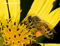 1B01-523z  Honeybee at flower collecting pollen and nectar, Apis mellifera