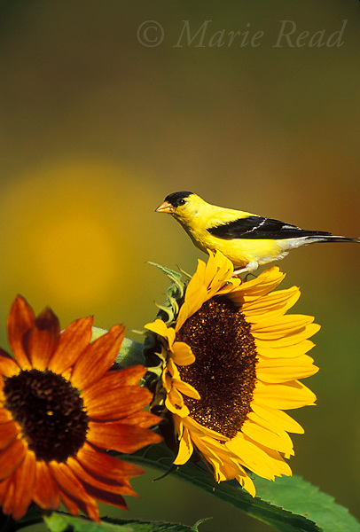 American Goldfinch (Carduelis tristis) male perched on sunflower in early autumn (September), New York, USA<br /> Slide # B167-641