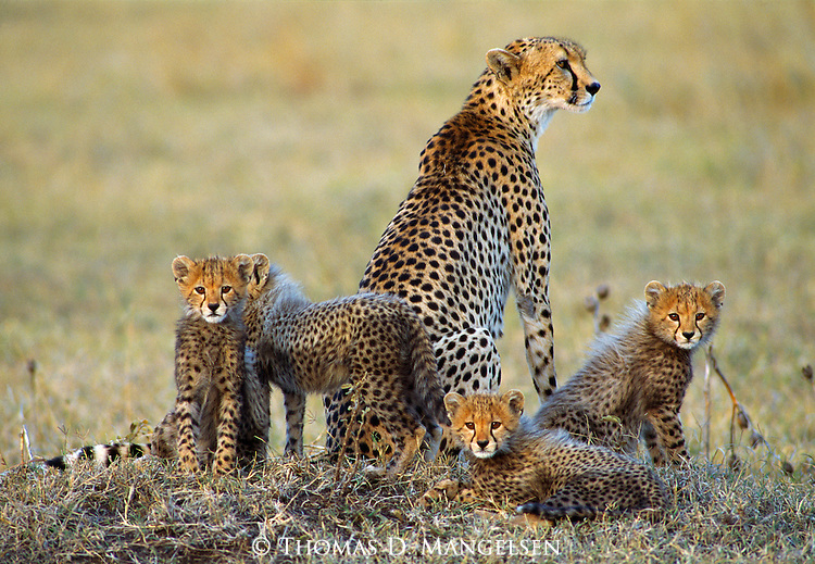 Cheetah family keeping a close eye on their surroundings in Kenya.