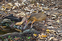 The Lesser mouse-deer (Tragulus kanchil) is the world's smallest known hooved mammal and may reach only 18 inches tall and 4.4 pounds. (Kaeng Krachan, Thailand)