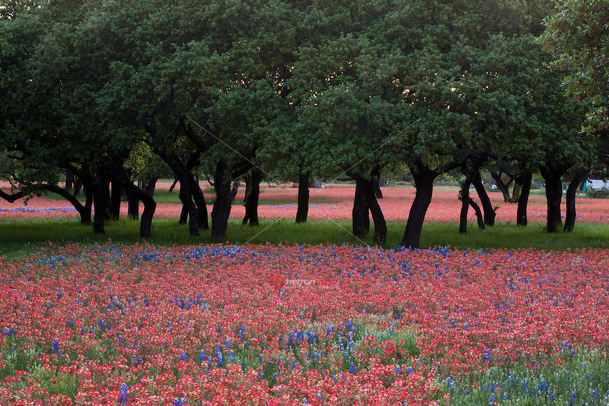 Texas live oaks surrounded by a field of Indian paintbrush and bluebonnets