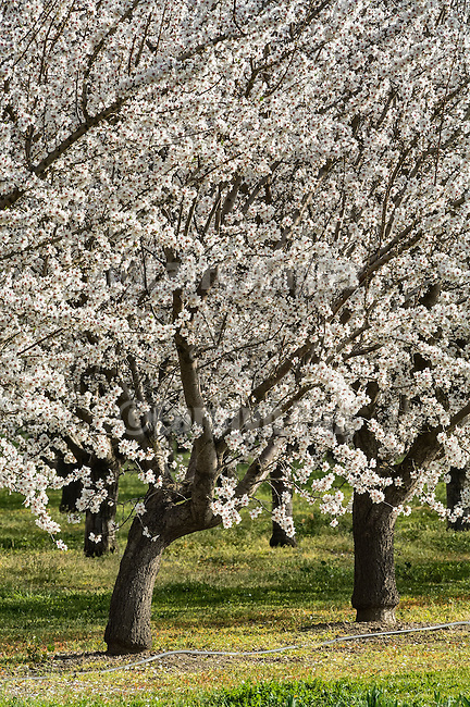 Almond trees with white blossoms, late winter in the Sacramento Valley at the McCabe farm.