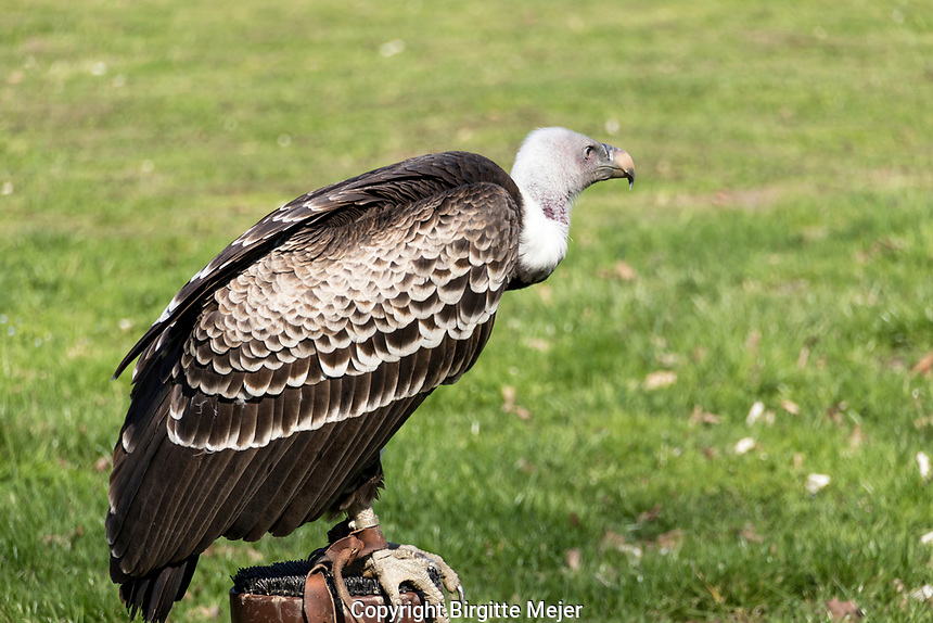 The Cape Griffon or Cape Vulture (Gyps coprotheres), also known as Kolbe's Vulture, sitting on a pole.<br />  It is endemic to southern Africa, and is found mainly in South Africa, Lesotho, Botswana and in some parts of northern Namibia.