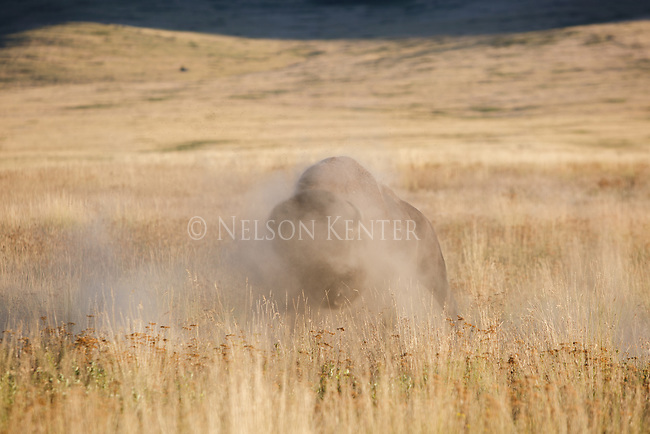 Bull bison in rut kicking up dust in National Bison Range in western Montana.