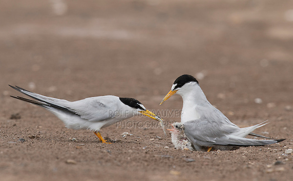 Least Tern with chicks, South Padre Island