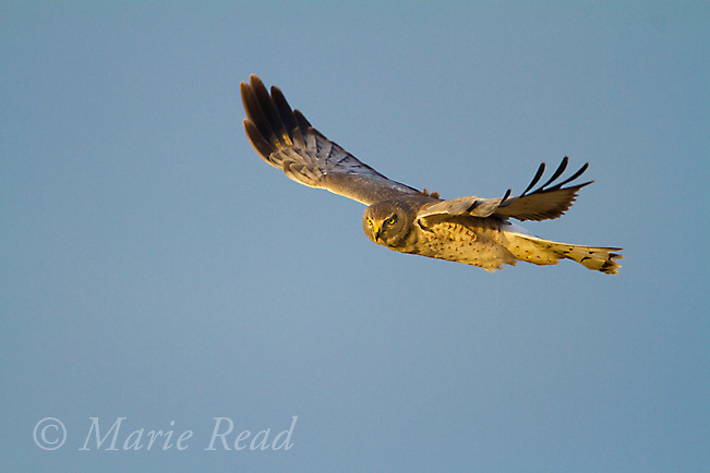 Northern Harrier (Cirus cyaneus) male in flight, near Aurora, New York, USA