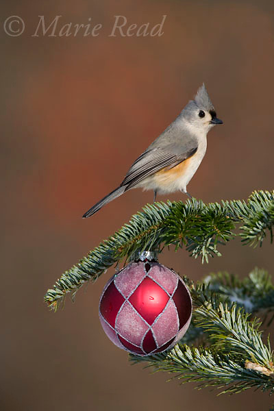 Tufted Titmouse with Christmas decoration (Baeolophus bicolor) , New York, USA