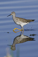 Lesser Yellowlegs wading through some shallow water
