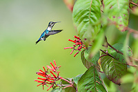 Bee Hummingbird (Mellisuga helenae), male in non-breeding plumage, in flight near the red flowers of Firebush (Hamelia patens). Cuba
