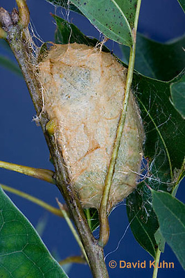 0912-0825  Oculea Silkmoth, Recently Made Cocoon, Antheraea oculea © David Kuhn/Dwight Kuhn Photography.