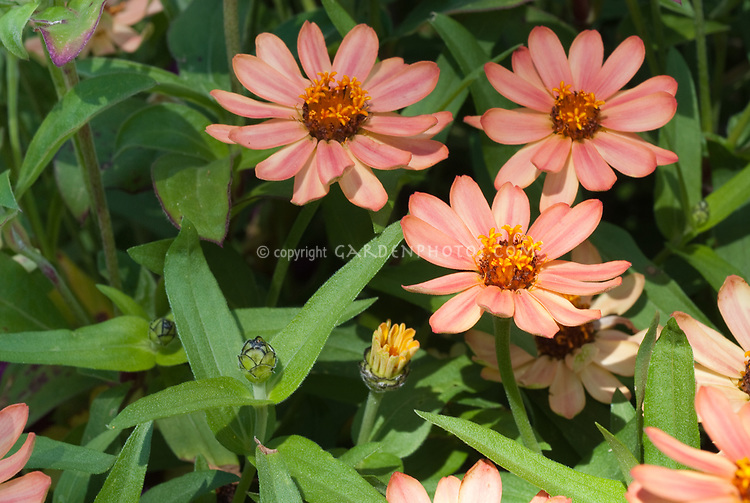 Zinnia angustifolia x elegans Profusion Apricot blooming in summer