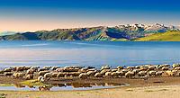 Shepherds & their sheep on the shotre of Lake Van, Turkey 4
