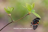 03004-01112 Pipevine Swallowtail (Battus philenor) male in Marion Co., IL