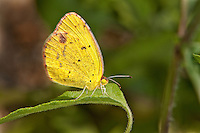 399800002 a wild little yellow butterfly eurema lisa at  the naba site in mission hidalgo county lower rio grande valley texas united states