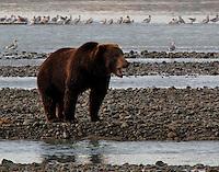 Grizzly Bear Fishing for Salmon in the Katmai National Park located on the Alaska Peninsula, across from Kodiak Island Alaska, USA.